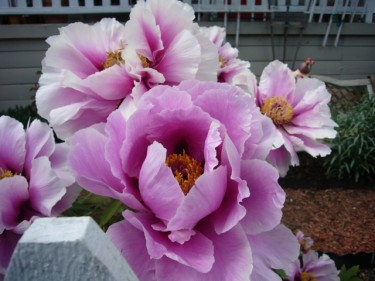 Victoria's peony in bloom