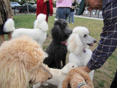 A Posse of Poodles