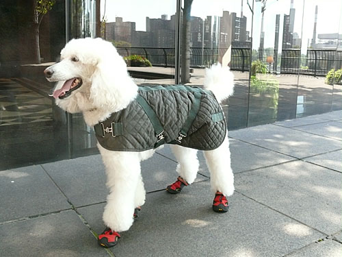 Poodles can wear mud boots too!