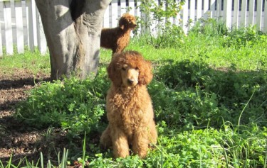 Sugar & Spice, Poodle escape artists