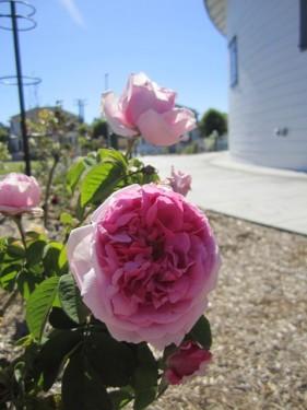 """""""Georgetown"""" Rose"""