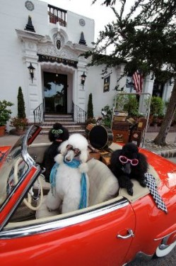 Poodles like to party...  Is that so wrong?