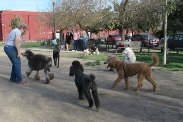 Poodle Party